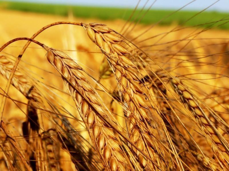 Сирия собирается импортировать из России 1.5 млн. тонн пшеницы
